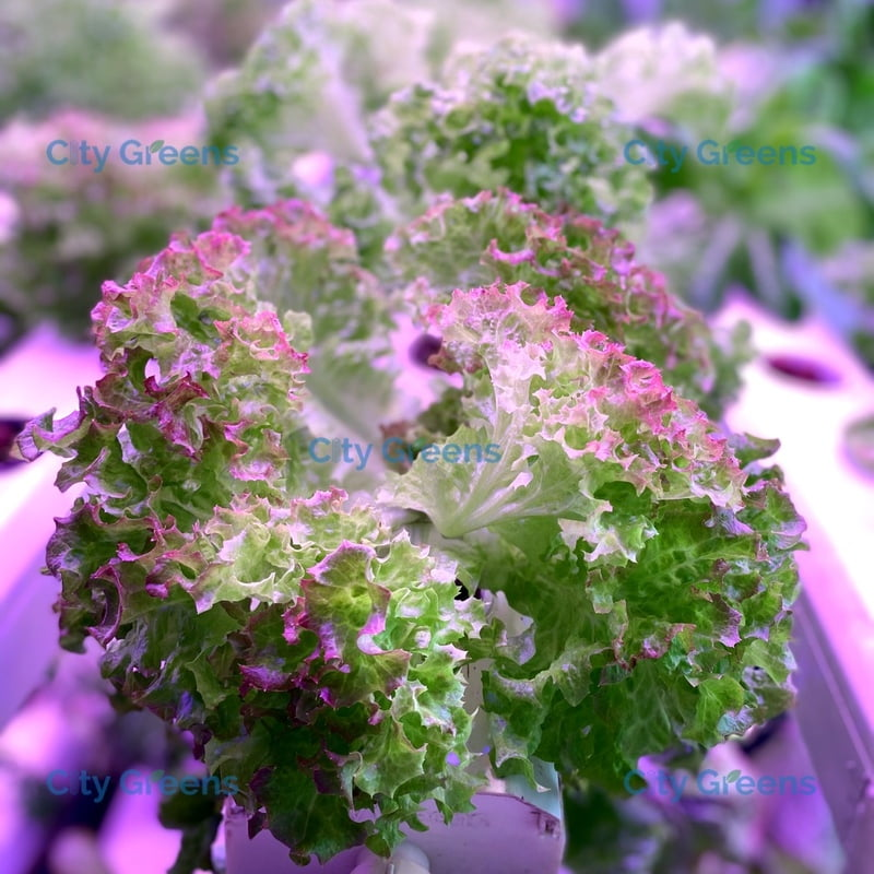 Seeds - Lettuce Variants